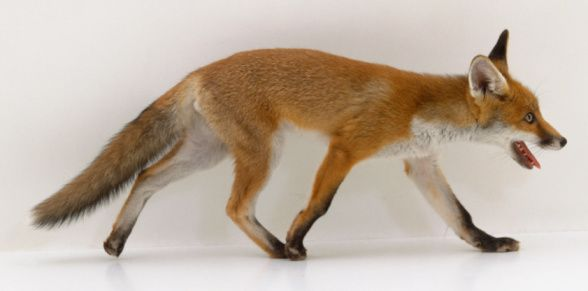 Side Fox Reference | A...
