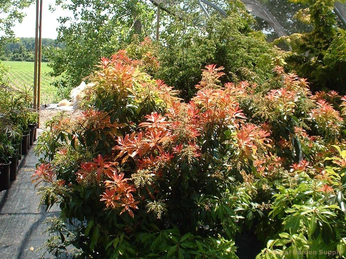 Pieris japonica \'Forest Flame\'. Evergreen. White urn shaped flowers ...