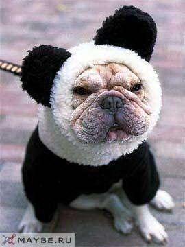 Eskimo French Bulldog Panda Dog Cute Dog Costumes Funny Animals