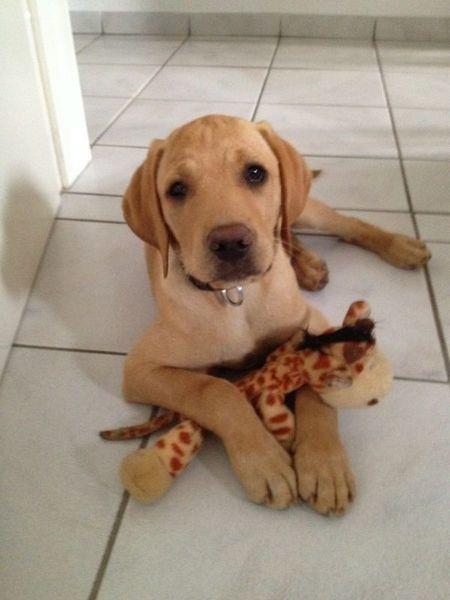 Vizslador Puppy Love Pet Cute Dogs Puppies