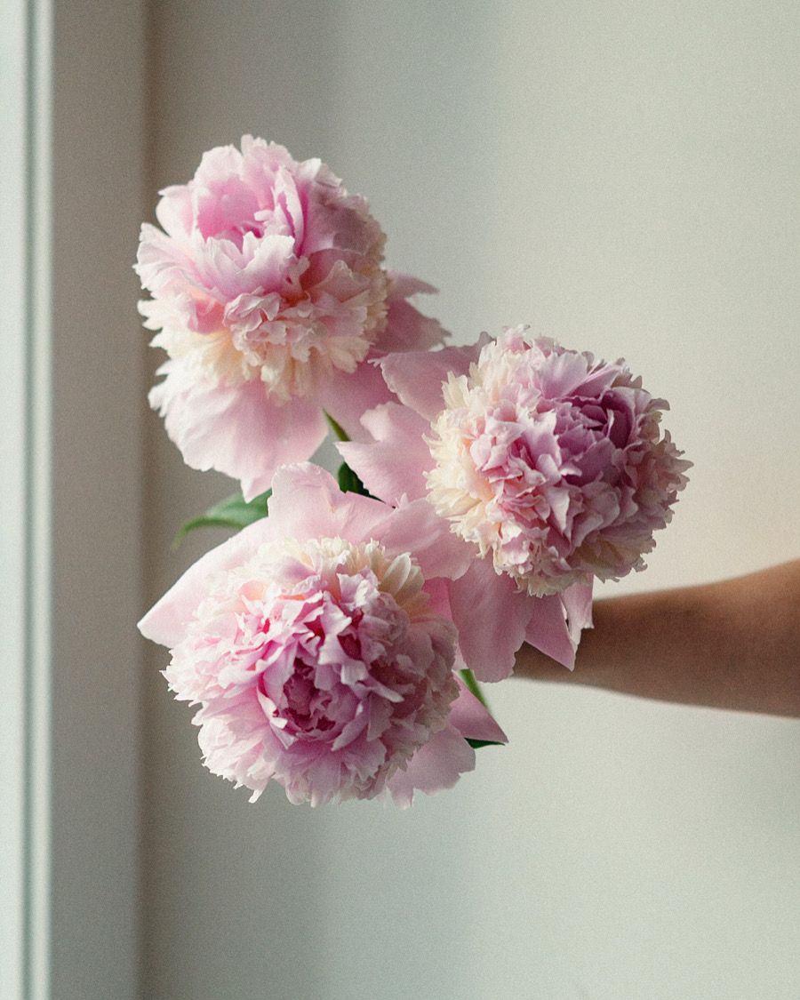 These fluffy pink snd white peonies are called Raspberry Sundae and are incredibly beautiful and have a sweet fragrance. They open to about the size of your hand!  #gardenflowers #pinkpeonies  #peonygarden #raspberrysundaepeony #pinkandwhite #weddingpeonies #calgaryweddings #weddingflowers