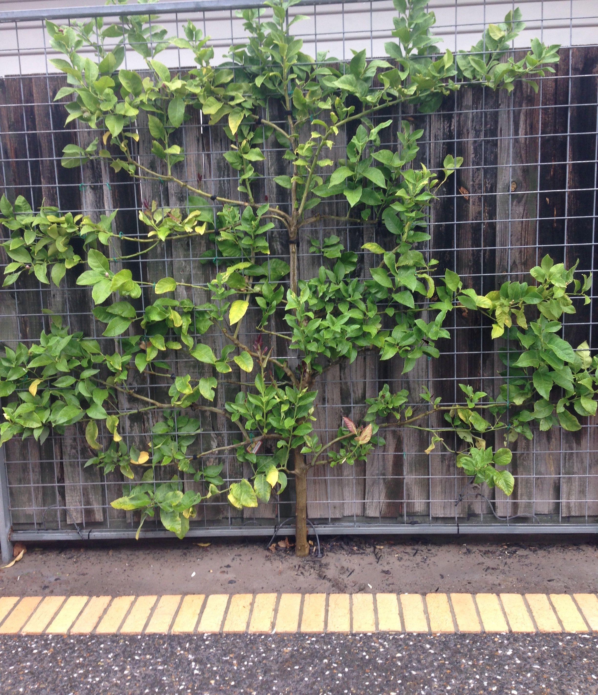 Espalier Frame With A Lemon Tree Informally Growing Against It Melbourne Trees To Plant Citrus Trees Garden Trellis