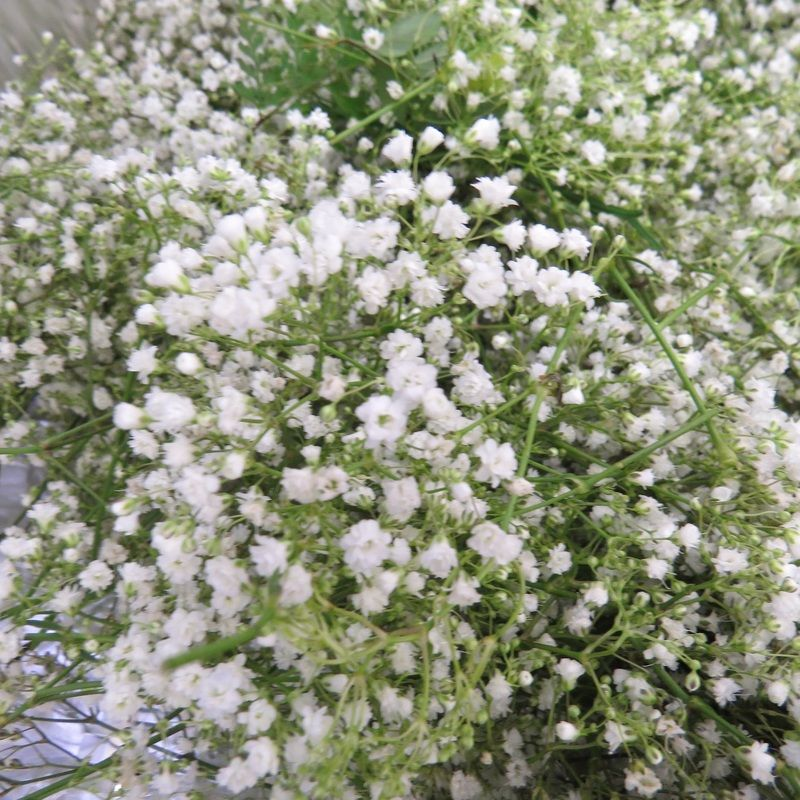 Baby S Breath Plants Babys Breath Front Yard