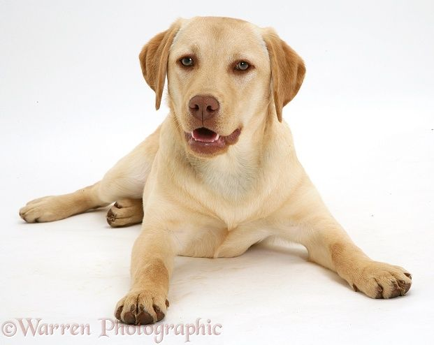 Adult Yellow Labordor Retrievers Wp15060 Young Yellow Labrador