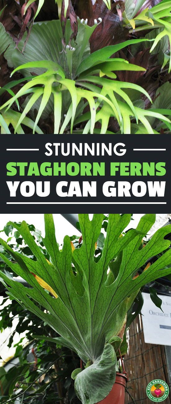 Stunning Staghorn Ferns You Can Grow At Home Staghorn