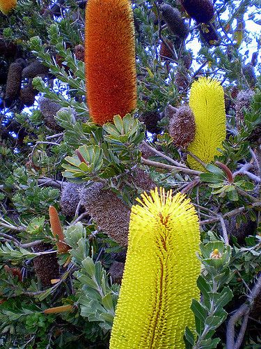Banksias Australian Native Plants Australian Wildflowers Australian Plants
