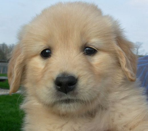 I've Wanted A Golden Retriever Puppy Since I Knew What They Were...