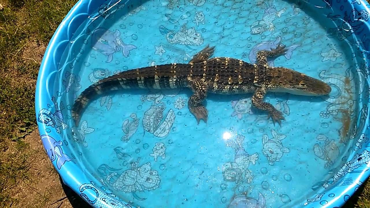 Allie 4 Foot Alligator Swimming In A Baby Pool He Takes