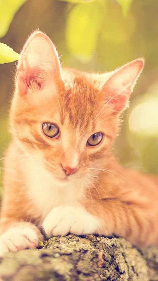 Pin di xhenimel su gatti rossi | Animali, Gatti carini e