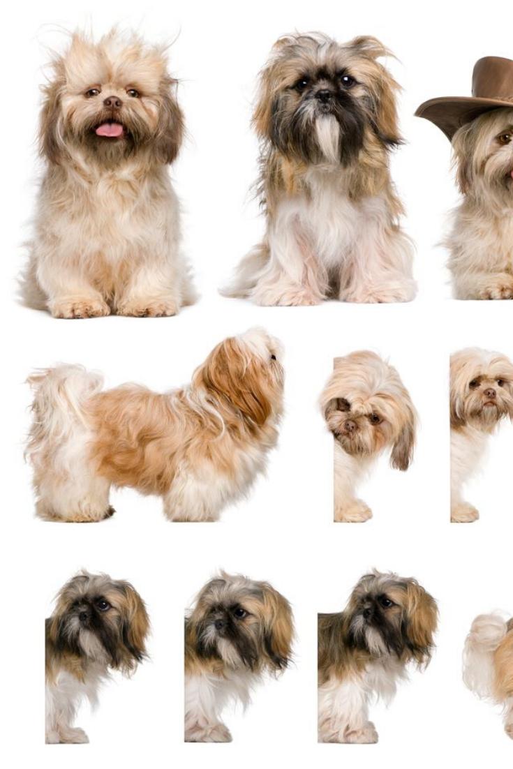Group Montage Of Shih Tzu 3 Years Old Against White Background Shihtzu Shih Tzu Dogs Animals
