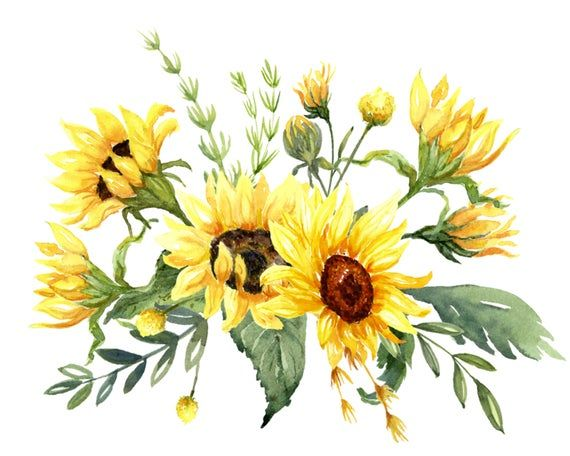 Sunflowers Watercolor Clip Art Includes Sunflowers