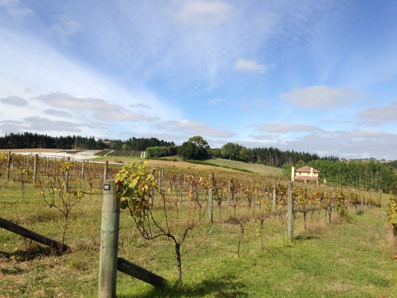 Vineyard on the North Island of New Zealand