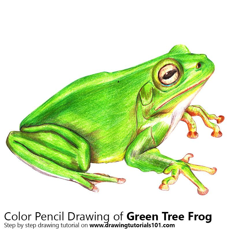 Green Tree Frog With Color Pencils Time Lapse Pencil Drawings