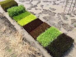 「水田アート」のために使用する稲。