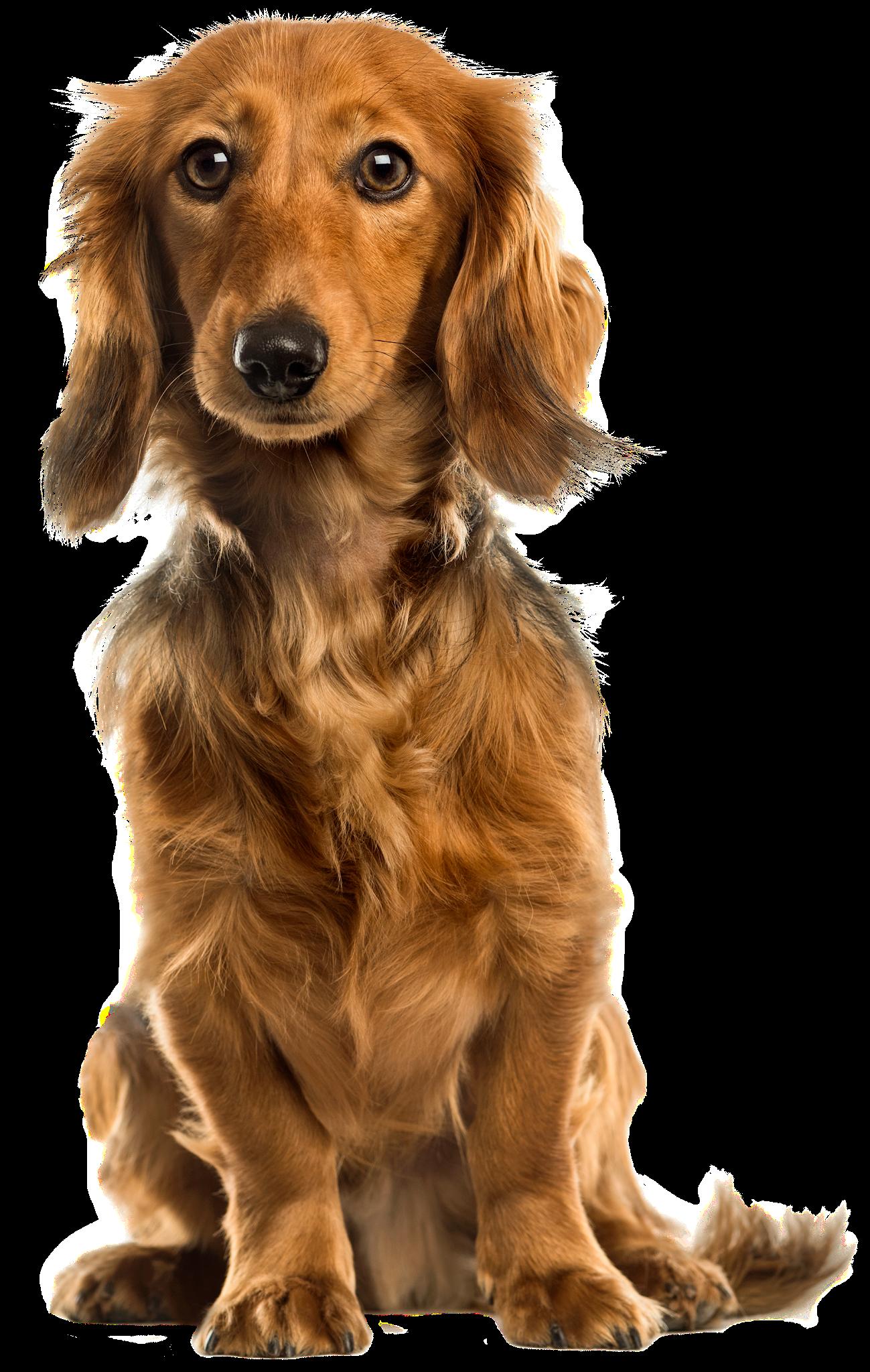 Labrador Retriever Golden Retriever Puppy Dog Breed Dog Dogs Cute Dogs Golden Retriever Puppy
