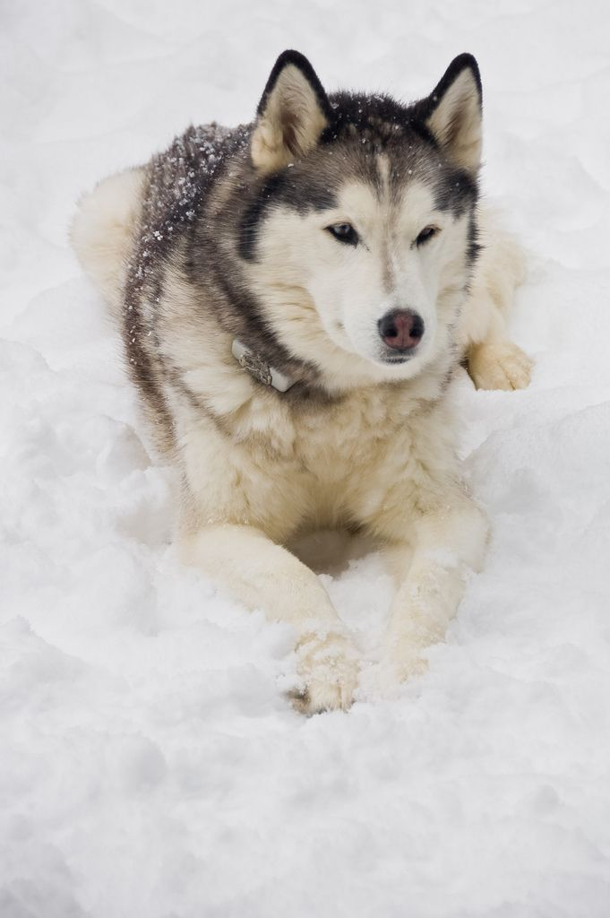 Alaskan Malamute Dogs http://tipsfordogs.info/90dogtrainingtips/              Miss my Kodi dog definitely want to get another one of these guys some day