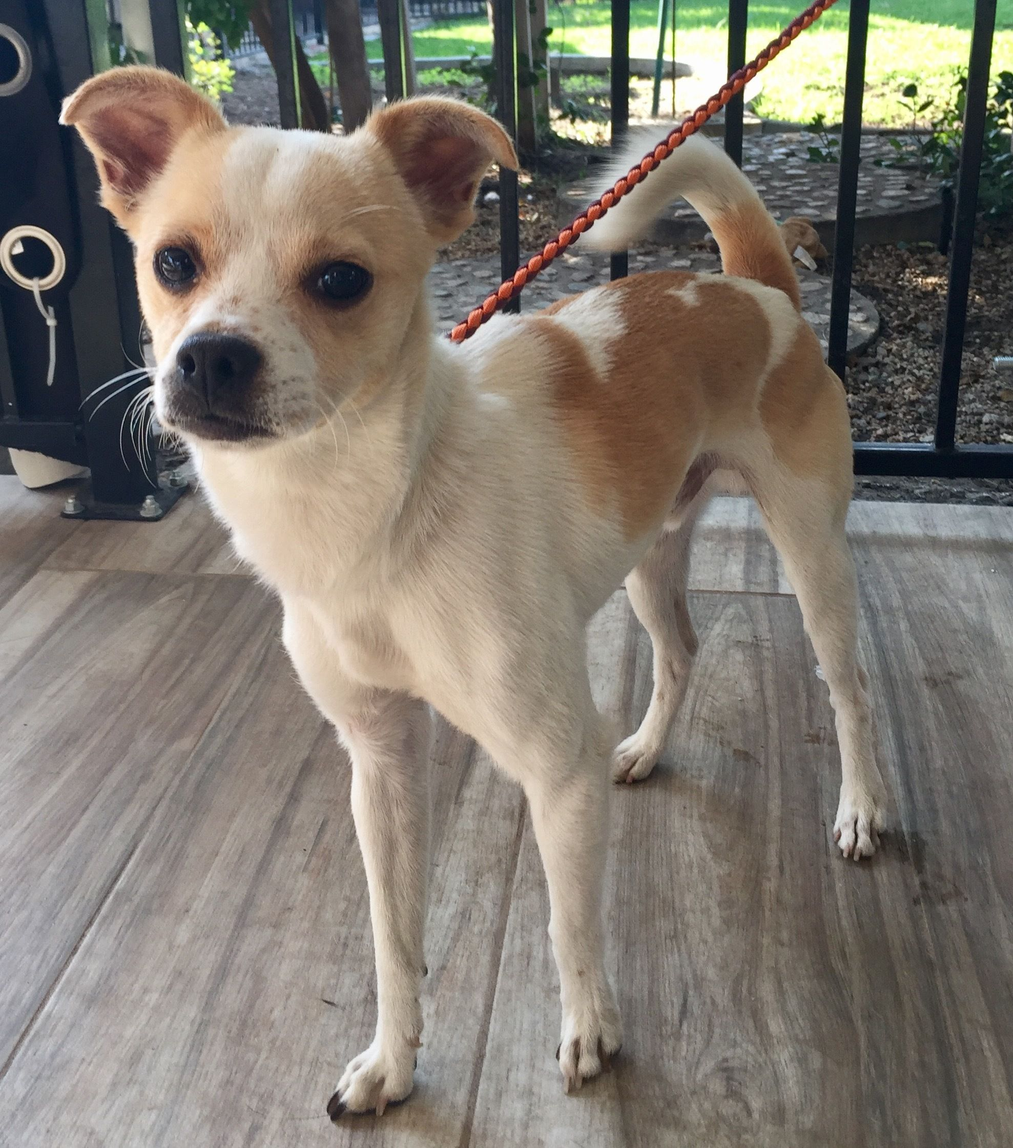 Adopt Captain Jack on Pitbull terrier, Rat terrier mix, Dogs