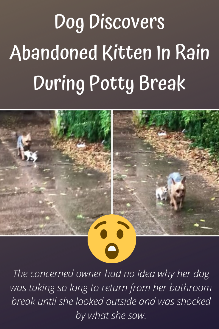 Dog Discovers Abandoned Kitten In Rain During Potty Break And Guides Her To Her Home For Shelter In 2020 Kitten Dogs Rain