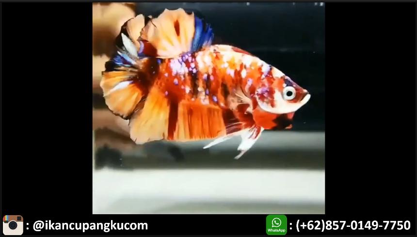 Harga Cupang Koi Multicolor Jual Ikan Cupang Hias Partai