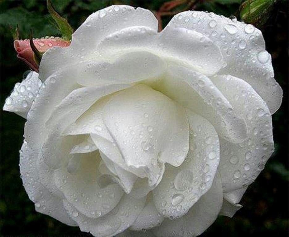 wight rose rose is a rose pinterest rose