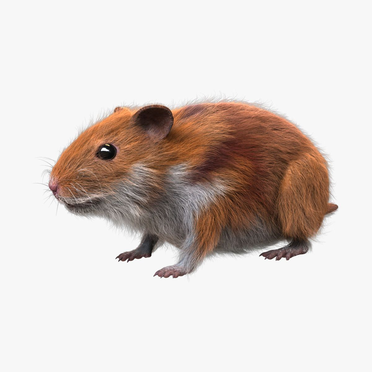 Hamster FUR by daveido. High detailed realistic 3D model
