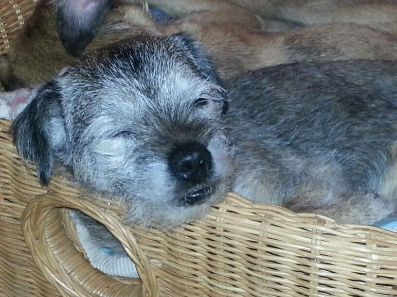 Border Terrier 'Wilma' (17 years old!)