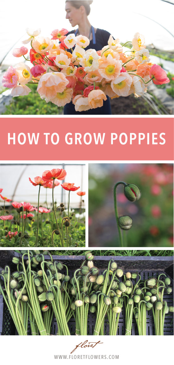 When it comes to poppies, there seems to be a great deal of confusion surrounding the different types, their growing needs, and whether or not they can be used for flower arranging.  Here we will break down the four different types of seed-grown poppies that are most commonly grown for cut flowers and explain what makes them different and special.  Come with us to learn all about and how to grow poppies so that you can best enjoy them in your flower garden.   #floret #growfloret