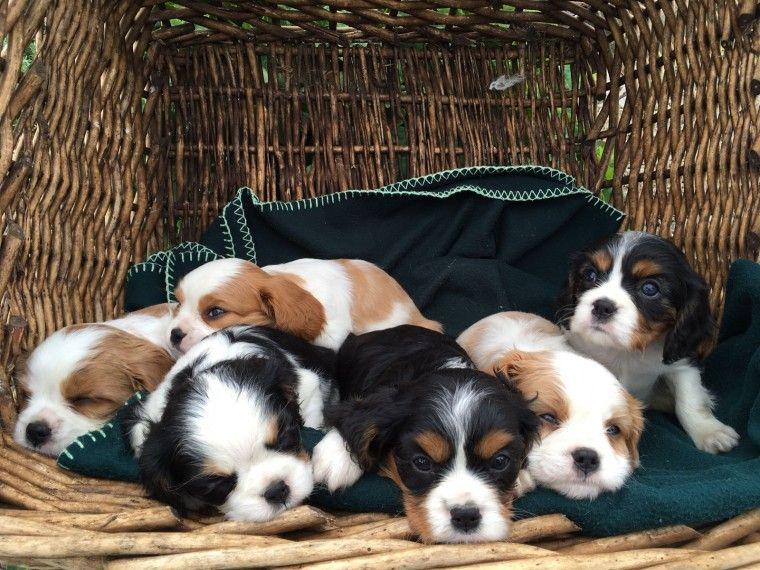 Pin Di Ilcirotanoit Su Annunci Gratuiti Dogs Cavalier E Animals