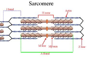 Sarcomere: Structure - DoctorsHangout.com   Anatomy & Physiology ...
