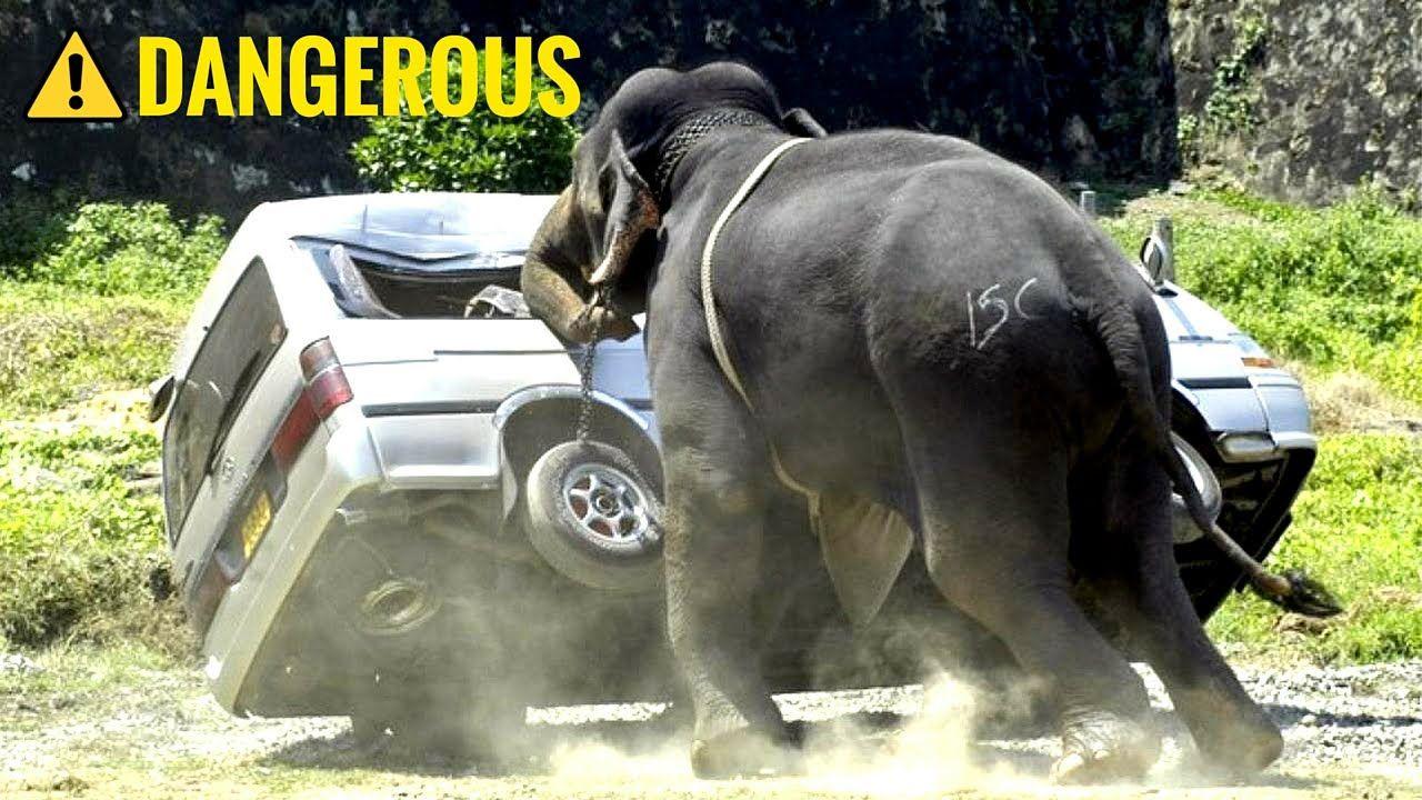 Elephant Auto Insurance Quote Elephant Attacks Car  Elephant Attacks Car In South Africa