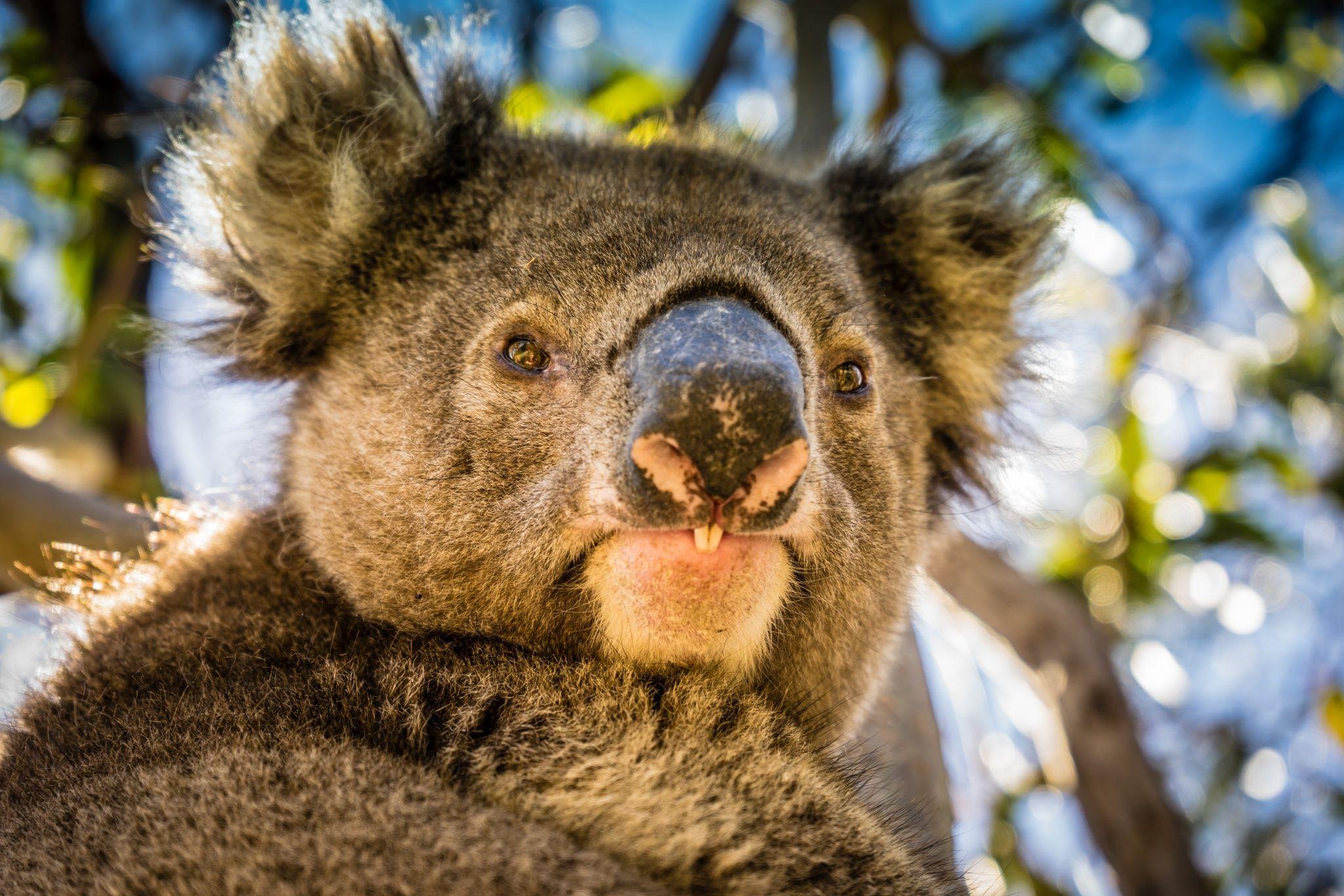 Seriously Australian By P J Taylor On 500px Koala Koala Koala Bear Cute Koala Bear