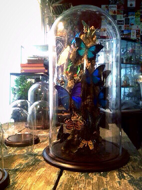 """Glass Dome Vintage 23"""" high Ulysses Morpho Sunset. IF obtained without cruelty."""
