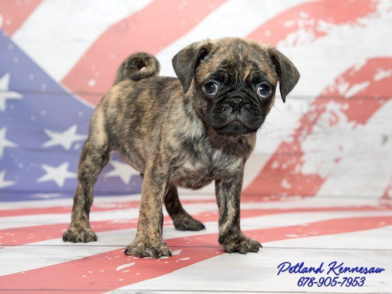 The Rare And Elusive Brindle Pug Puppies For Sale At Petland Pug