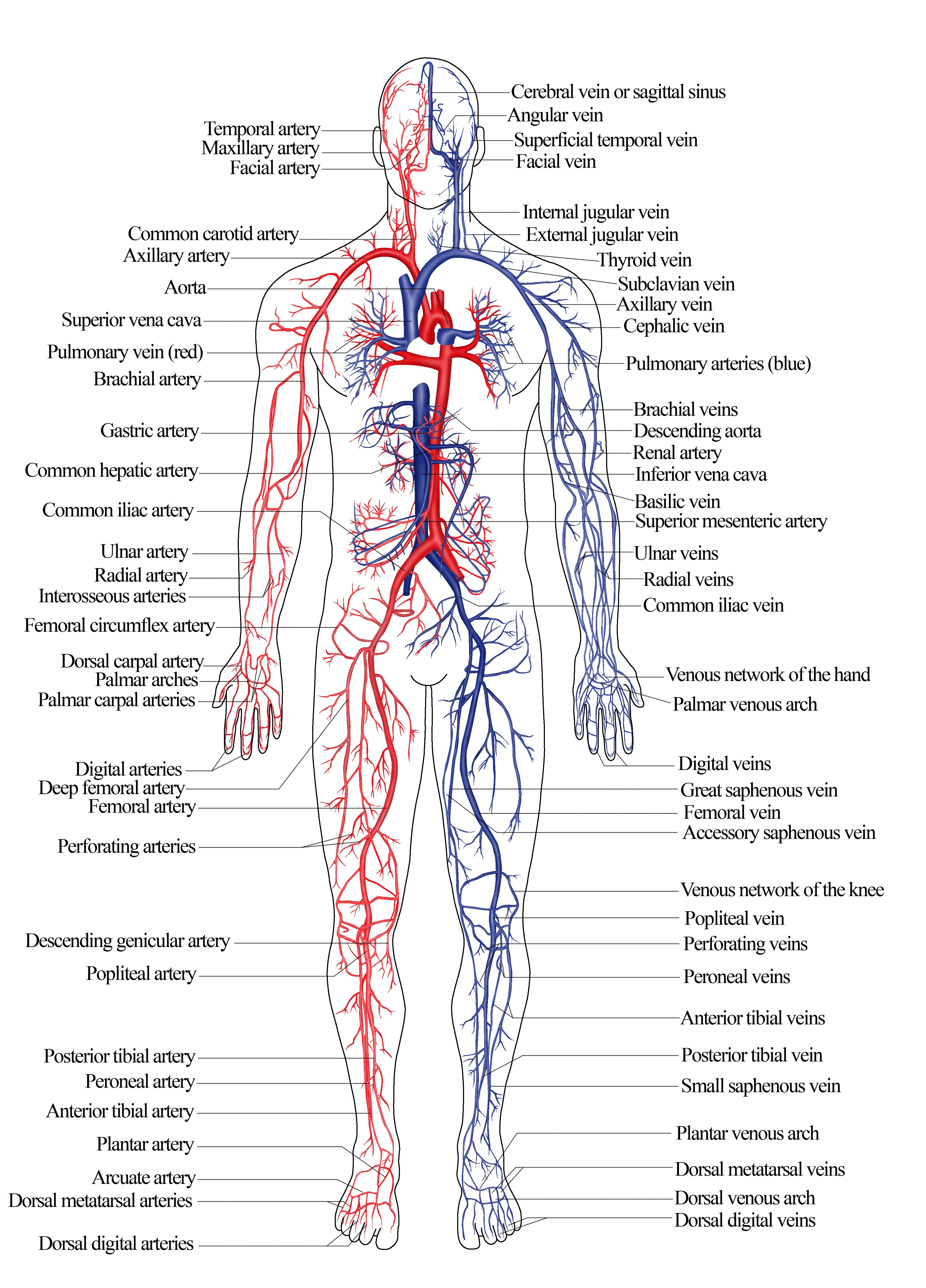 Diagram Of Venous System Of Human Body Nroer File Image Arterial And Venous System Of Humans Human Body Systems Human Body Diagram Body Diagram