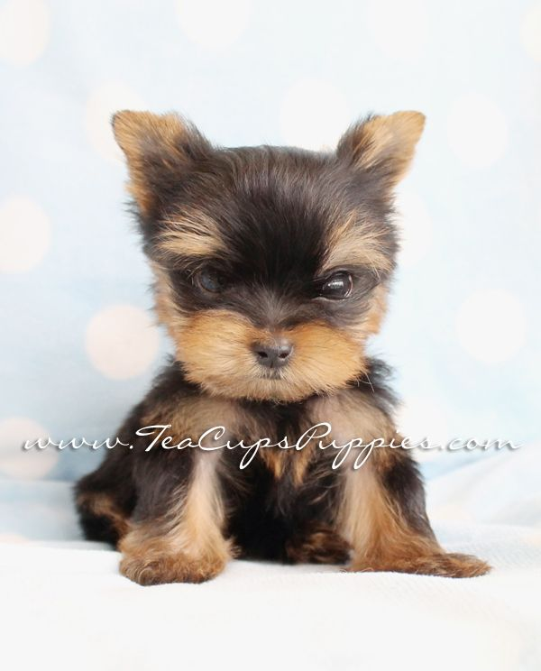 Cute Yorkie Puppy At Teacups Puppies And Boutique In South Fl