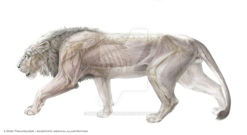 lion anatomy 1 by DirkTraufelder.deviantart.com on @DeviantArt