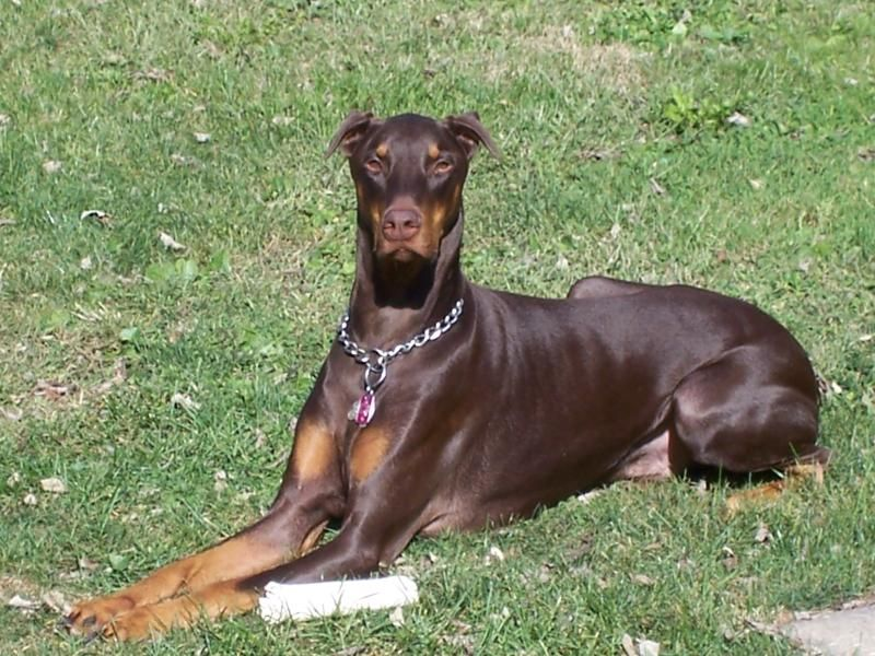 Merlin Doberman Pinscher Dog Breeds Doberman