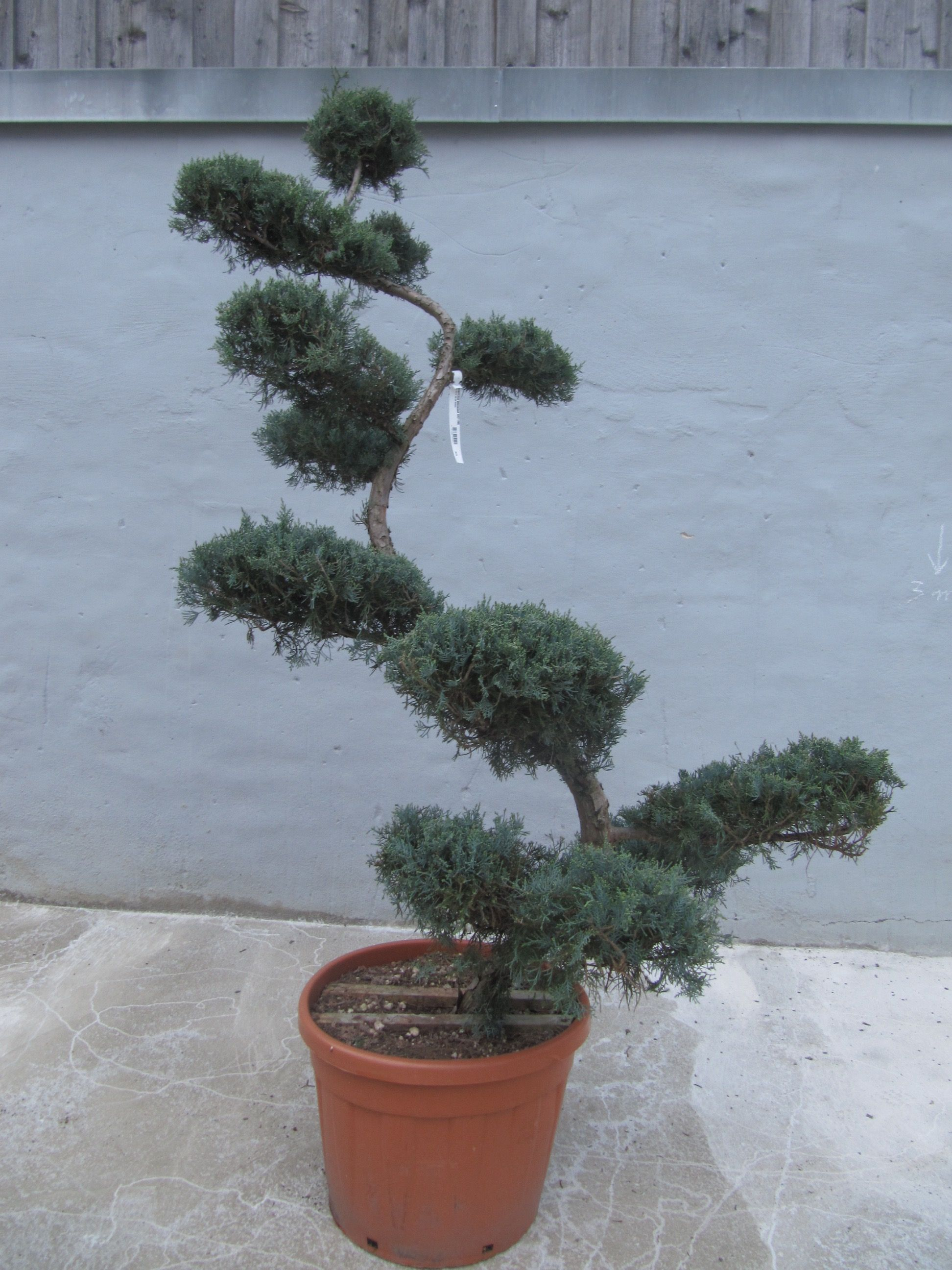 Small Of Grey Owl Juniper