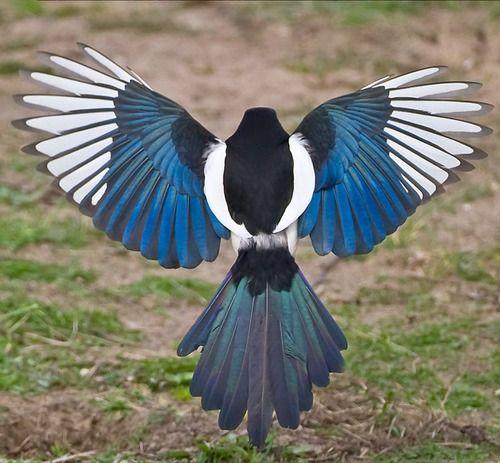 magpie illustrations | ... corvidae #magpies #magpie #black billed magpie…