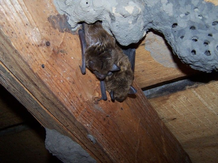 How to Get Rid Of Bats in Your House Getting rid of bats