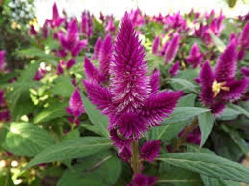 30 Celosia Purple Flamingo Flower Seeds Reseeding Annual Flower Seeds Flamingo Flower Celosia Flower