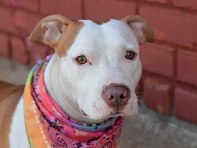SAFE❤️❤️ 11/29/15 SUPER URGENT BROOKLYN ISIS aka LILY – A1015548 ***RETURNED 11/15/15*** SPAYED FEMALE, TAN / WHITE, AM PIT BULL TER MIX, 2 yrs, 3 mos STRAY – STRAY WAIT, HOLD FOR ID Reason STRAY Intake condition EXAM REQ Intake Date 11/15/2015, From NY 11213, DueOut Date , http://nycdogs.urgentpodr.org/isis-aka-lily-a1015548/