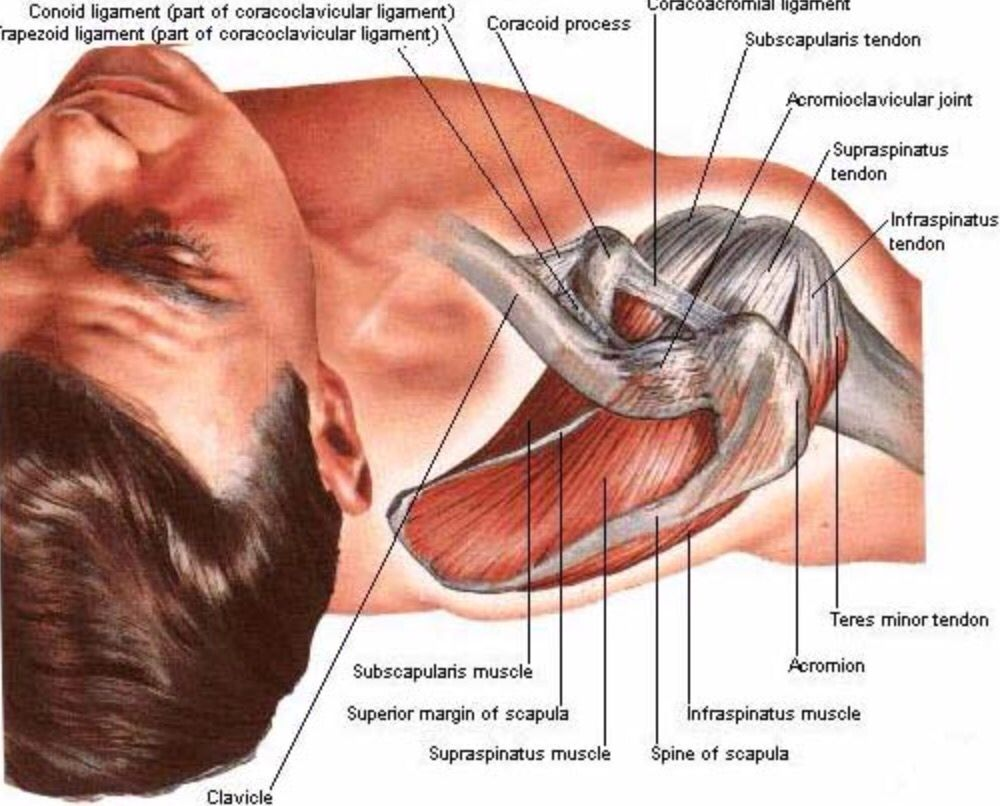 Superior view of the shoulder | Anatomy | Pinterest | Physical therapy