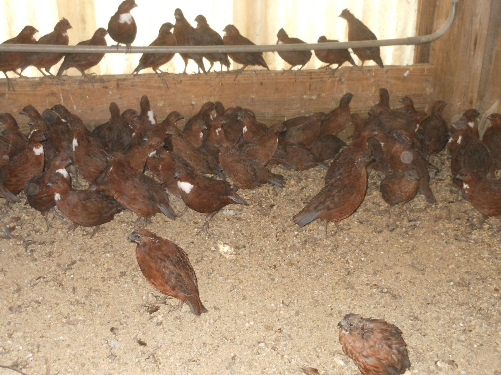 hight resolution of tennessee red white bobwhite snow flake quail 36 assorted hatching snow quail diagram
