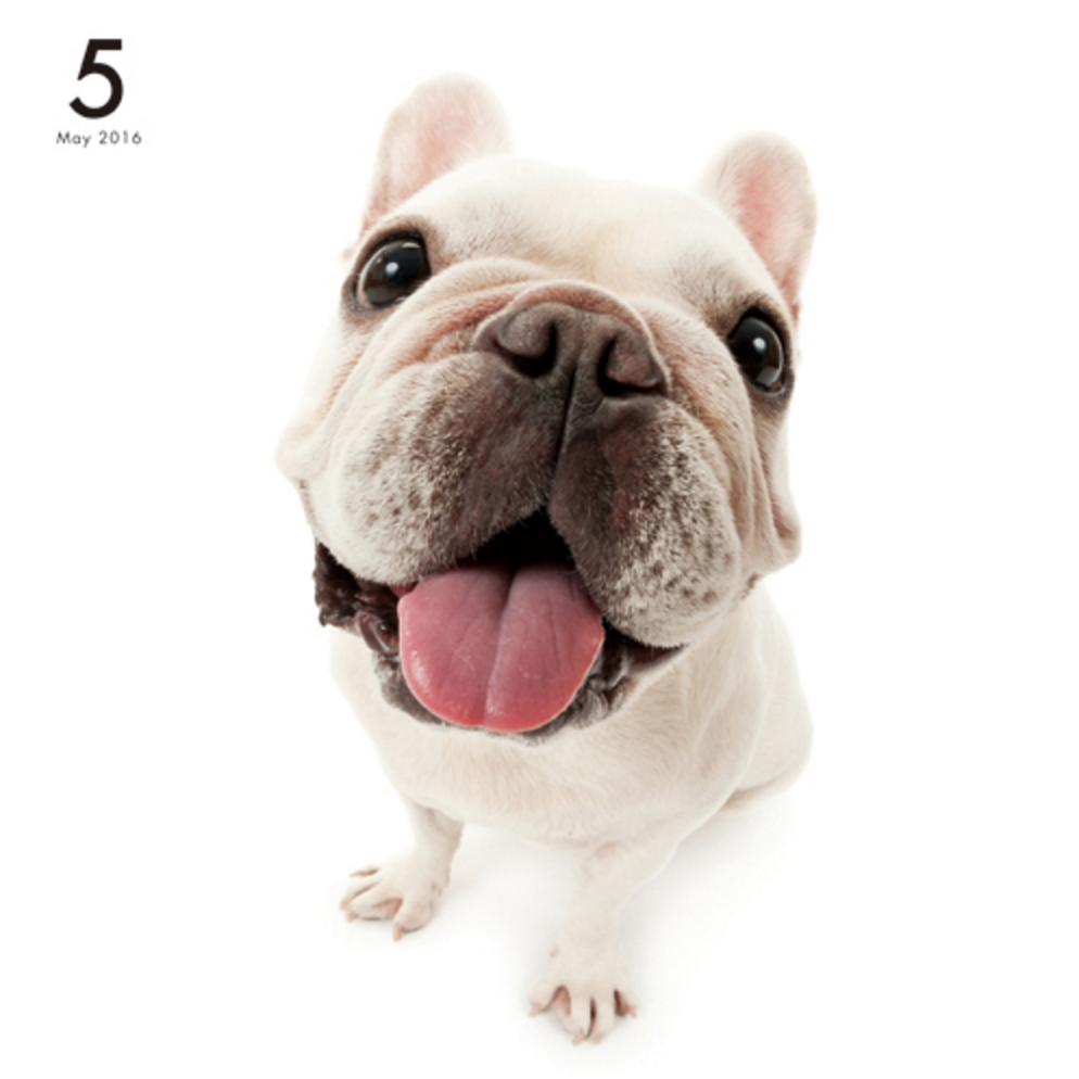 Artlist collection the dog french bulldog calendar frenchies