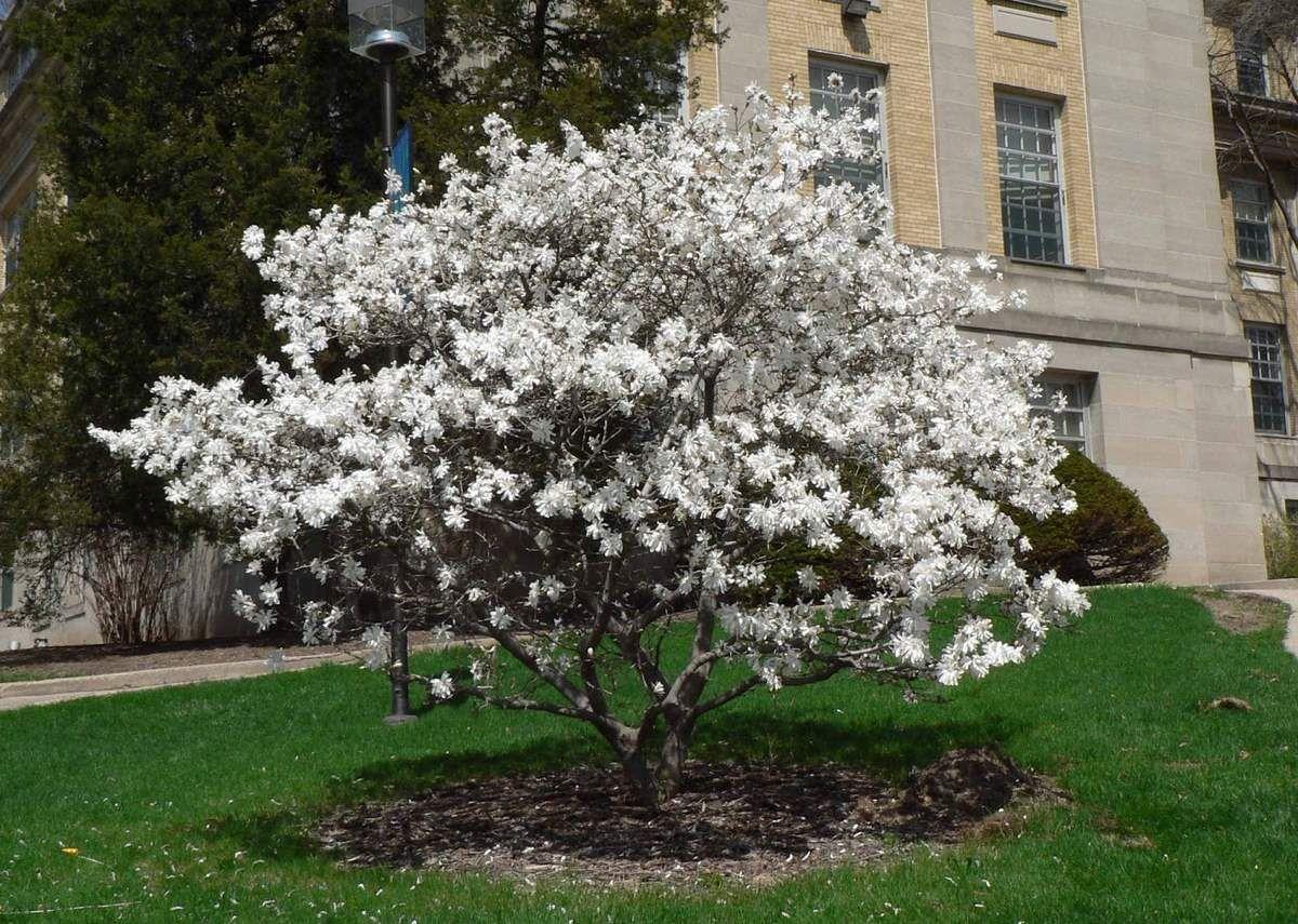 accent tree royal star magnolia magnolia stellata. Black Bedroom Furniture Sets. Home Design Ideas