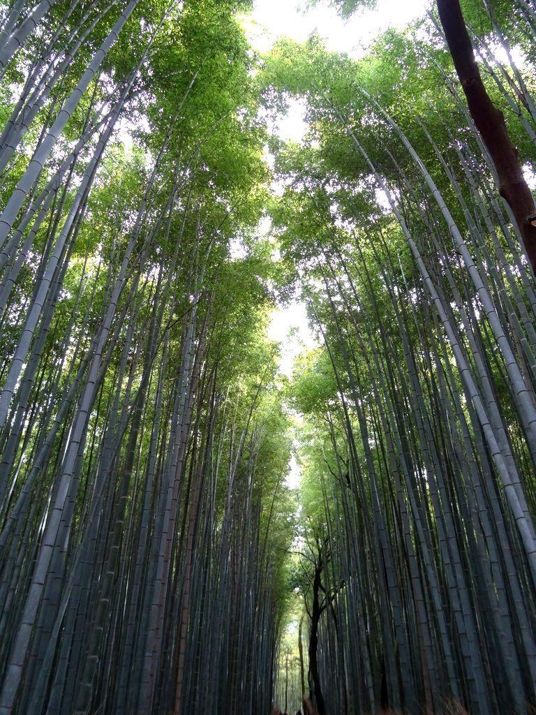 Bamboo forest Arashiyama Next to Kyoto Japan Japon