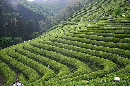 Korean green tea fields