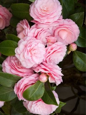 Camellias Collection Monrovia Beautiful Flowers Love Flowers Pink Flowers