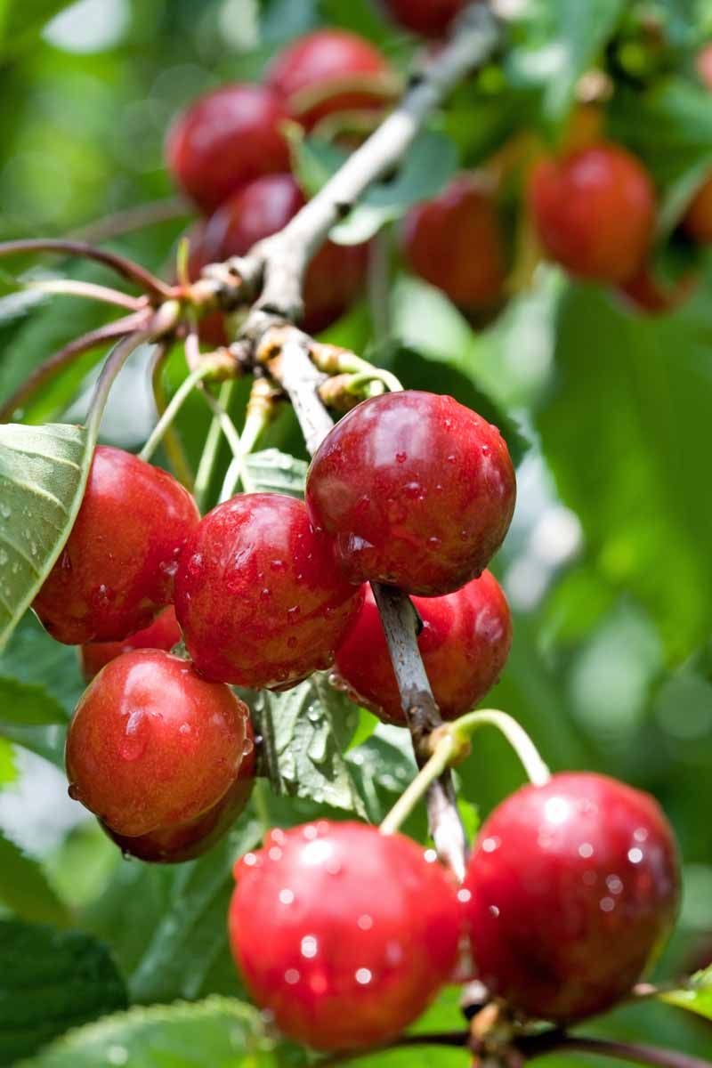 How To Grow And Care For Fruiting Cherry Trees Gardener S Path Sour Cherry Tree Cherry Tree Growing Fruit